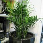 Areca Silk Plant
